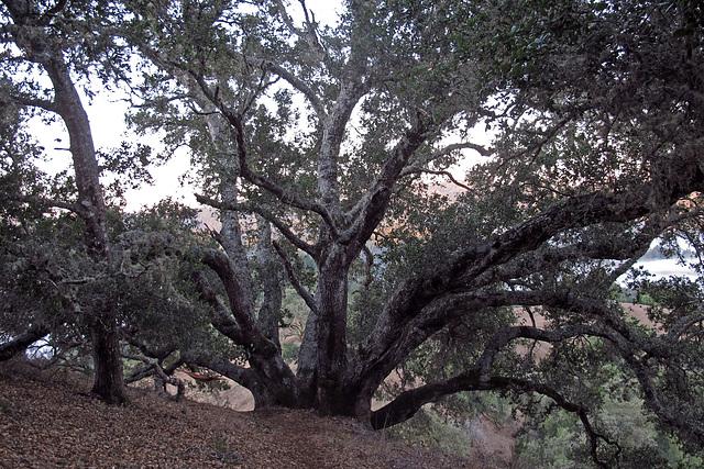 Grandmother Oak (1312)