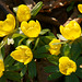 Winterlinge (Eranthis hyemalis)