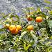 Orangen am Baum. ©UdoSm