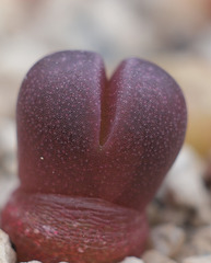 Lithops optica rubra - Sämling