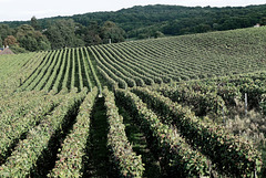 Vignoble de Ludes
