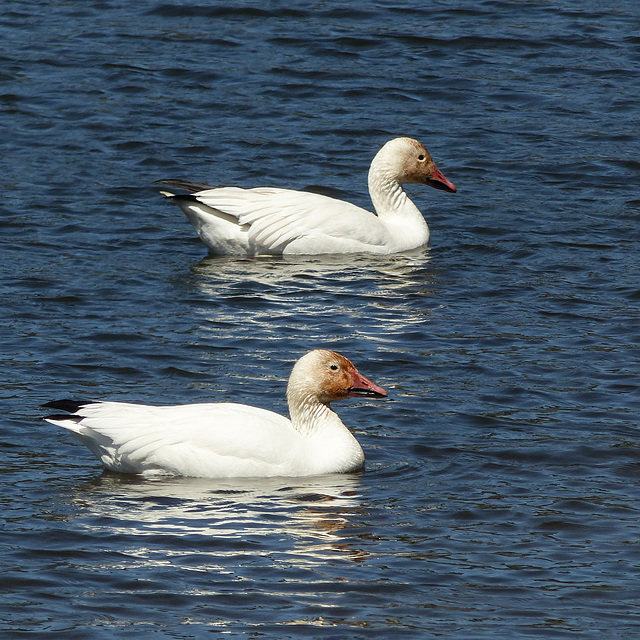 Day 12, Snow Geese, Cap Tourmente Wildlife Area, Quebec