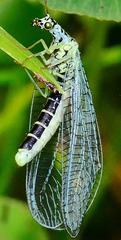 Green Lacewing. Chrysopa perla