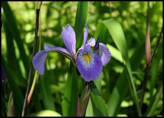 Iris x robusta (4)