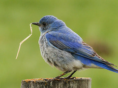 Bluebird memories