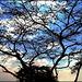 Ṣalāla : Unico grande albero sulle alture della città