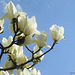 Magnolia Flowers (3)