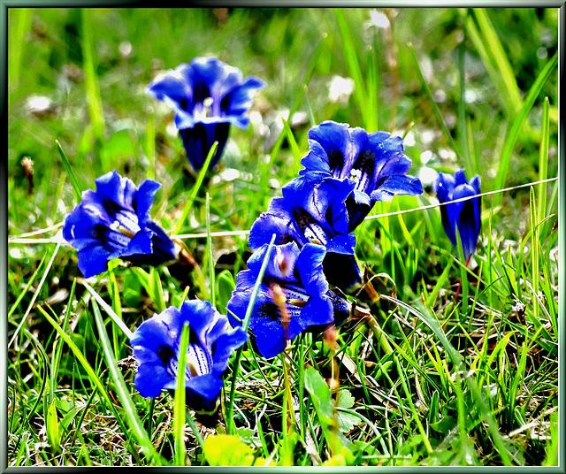 Blauer Enzian. ©UdoSm