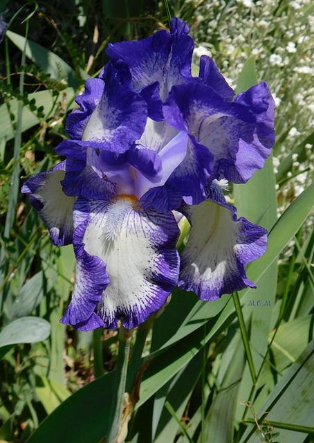 Iris**********
