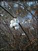 winter snowberries