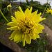 20140830 4718VRFw [D~LIP] Sonnenblume, Ziegeleimuseum, Lage