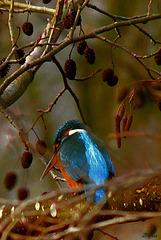 Kingfisher's lady