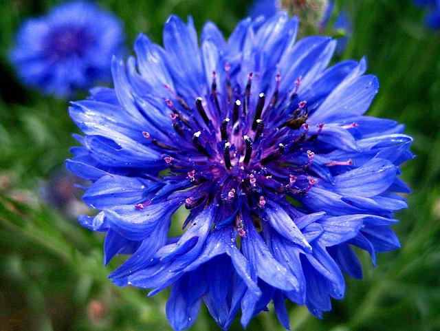 ipernity fleur de bleuet cornflower by daniela. Black Bedroom Furniture Sets. Home Design Ideas