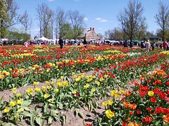 Festo de florantaj tulipoj en Litovio.