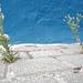 Erigeron sumatrensis, Avoadinha-marfim, Asteraceae