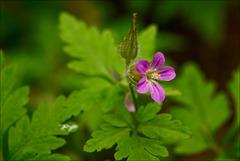 Geranium purpureum Vill., erva-de-são-roberto