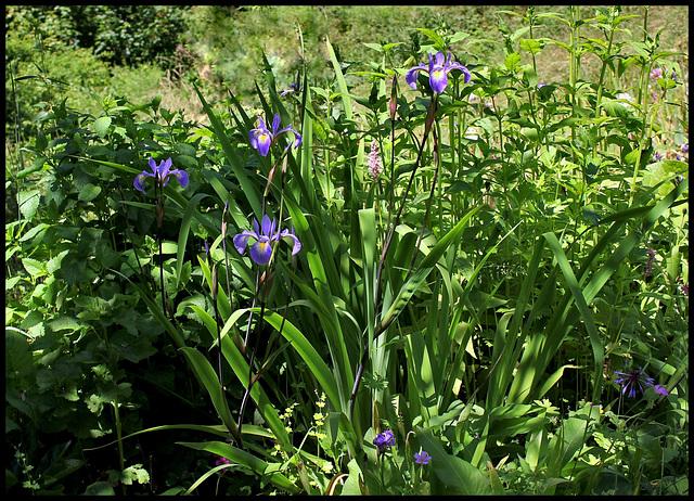 Iris x robusta (6)