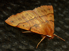 Moth. Possibly Feathered Thorn. Colotois pennara??
