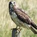 Swainson's Hawk, immature