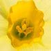 Daffodil - This is a dwarf daffodil