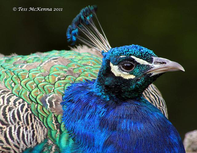 Peacock 0098 copy