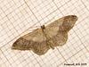 1713 Idaea aversata (Riband Wave) Variety