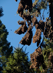 Monarch Butterfly Clumps