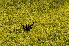 il n' y a pas que des insectes dans les champs de colza !!