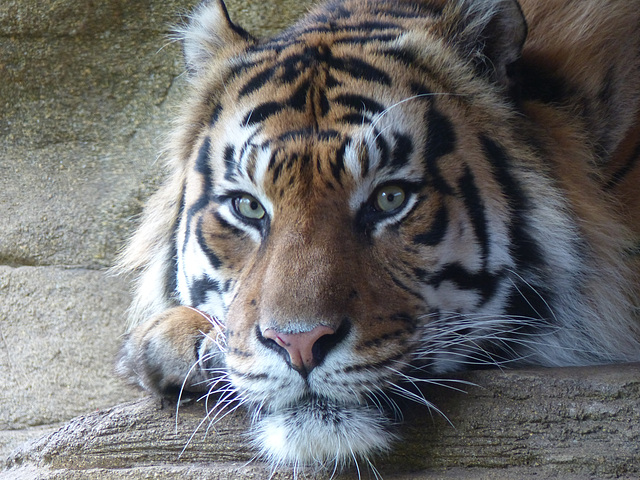 Sumatran Tiger (2) - 16 October 2015