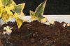 Kweek set voor bruine champignons...