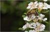 Honey Bee 3