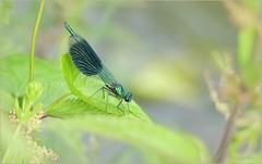 Banded demoiselle ~ Weidebeekjuffer (Calopteryx splendens), male ♂...