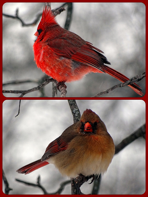 Cardinals Collage ~ A cold and snowy day