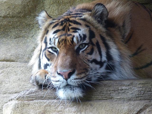 Sumatran Tiger (3) - 16 October 2015