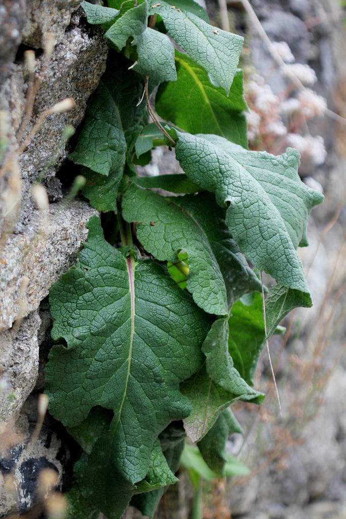 Verbascum nigrum , molène noire  (7)