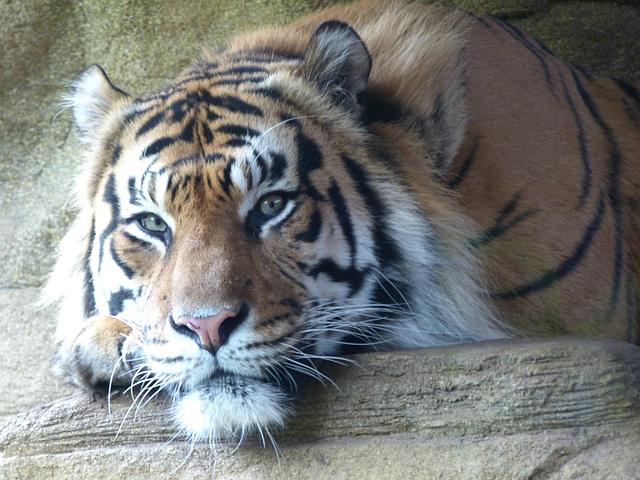 Sumatran Tiger (4) - 16 October 2015