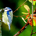 Blaumeise (Cyanistes caeruleus).  ©UdoSm