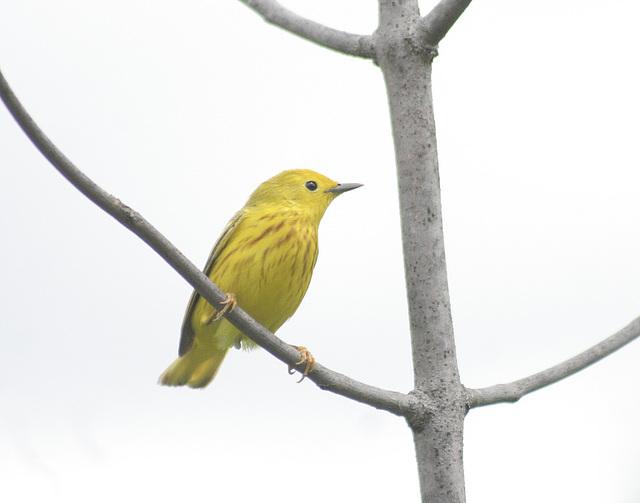 Tweety Bird / Titi