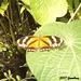 57 Tiger-striped Leafwing (Consul fabius)