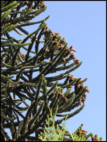 Araucaria mâle (1)