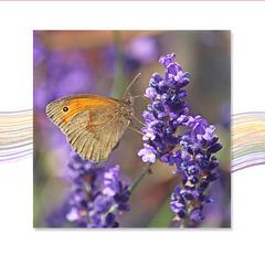 Small Heath on lavender - 3.7.2018