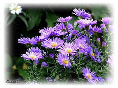 Le temps des asters ... ****   Asters time ...