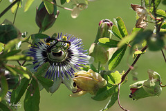 IMG 1690 Passiflora caerulea (blog)