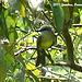 45 Tropical Mockingbird (Mimus gilvus)