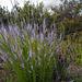 Anarrhinum bellidifolium, Penedos