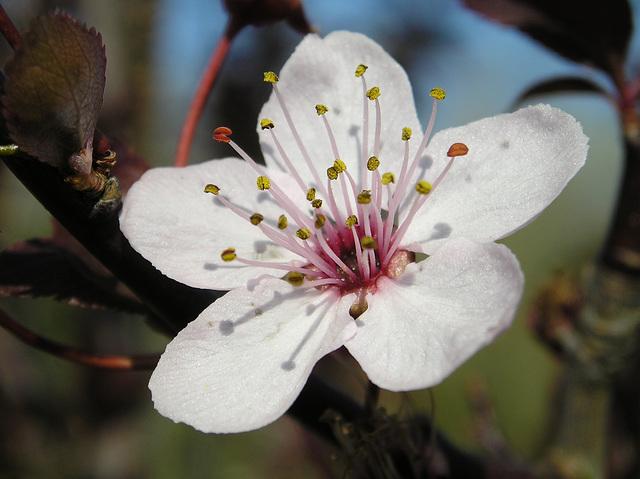 Ipernity Fleur De Prunier By Daniela
