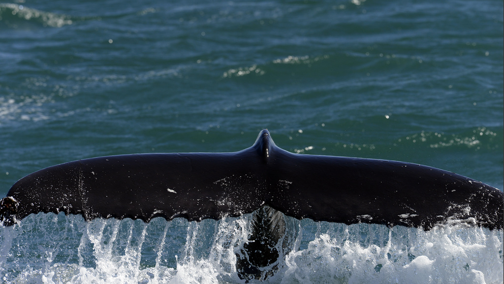 Humpback whale, Skjálfandi  DSC3394