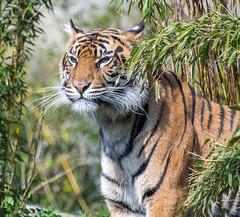 Tigress11