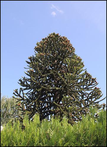 Araucaria mâle (2)