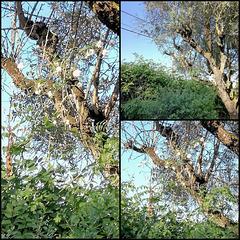 Olive tree - I